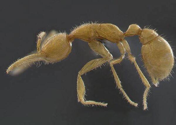 Новый вид муравья Martialis heureka (муравей с Марса)