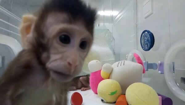 Первые в мире клонированные приматы - макаки Чжун Чжун и Хуа Хуа