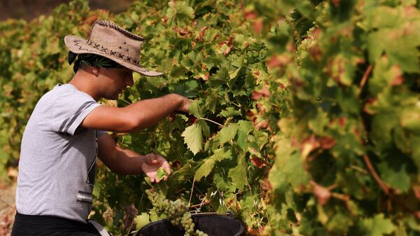 Сбор урожая на виноградниках винодельческого завода Массандра в Крыму