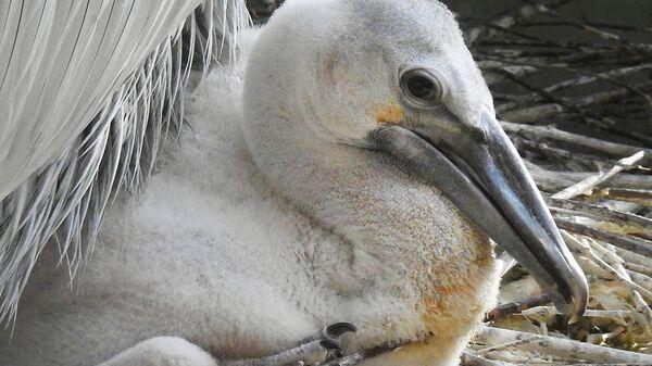 Птенец кудрявого пеликана в Московском зоопарке