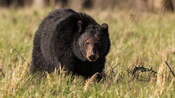 Барибал или американский черный медведь