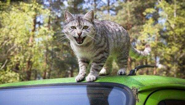 Кот на крыше автомобиля