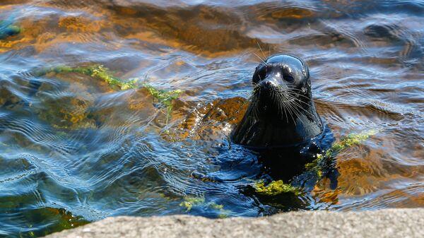 Ладожский нерпенок Крошик в водах Ладожского озера у острова Валаам после реабилитации в Центре изучения и сохранения морских млекопитающих петербургского Водоканала