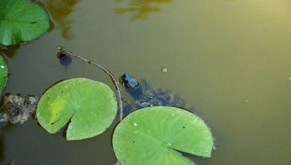 Волонтеры Севастополя спасли от гибели 23 красноухих черепах