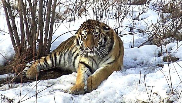 Ученые впервые обнаружили участок обитания тигрицы Филиппы в Приморье