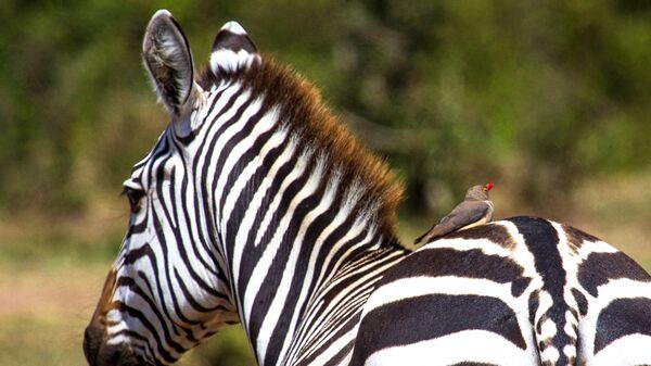 Зебра в национальном заповеднике Масаи-Мара в Кении