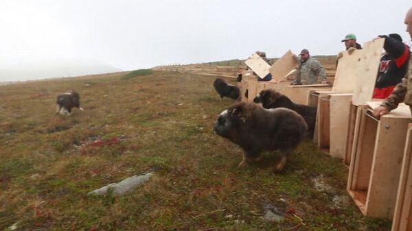 Овцебыки из Якутии на острове Завьялова в Магаданской области