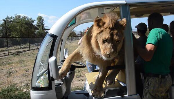 Лев Филя в электромобиле в крымском сафари-парке Тайган