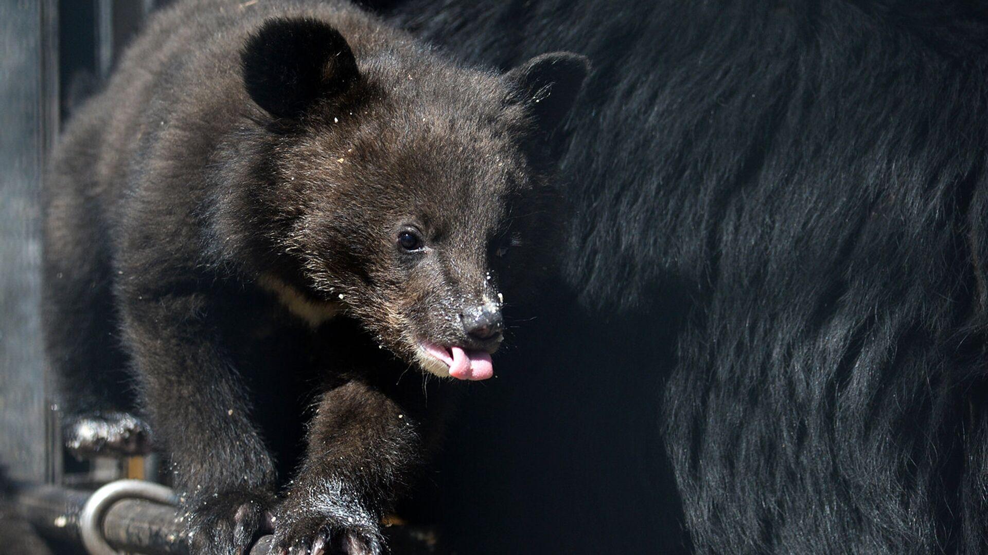 Медведица усыновила осиротевшего медвежонка в заказнике на Камчатке - РИА Новости, 1920, 17.09.2021