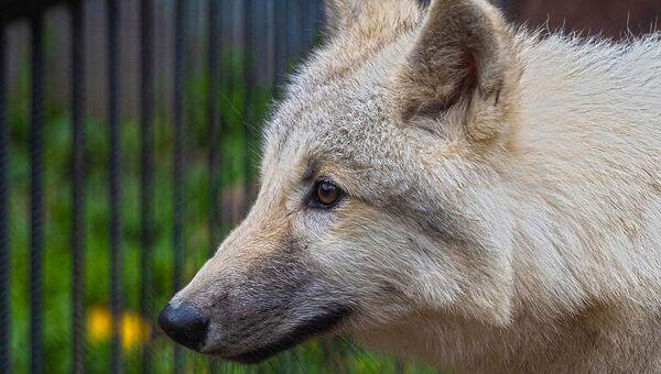 В красноярском парке флоры и фауны Роев ручей появился четырехмесячный полярный волчонок