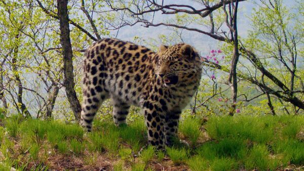 Лесные камеры сфотографировали леопардов около 8 тыс. раз