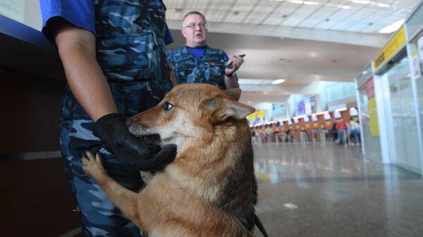 Сотрудники кинологической службы авиакомпании Аэрофлот во время работы со служебной собакой в терминале международного аэропорта Шереметьево