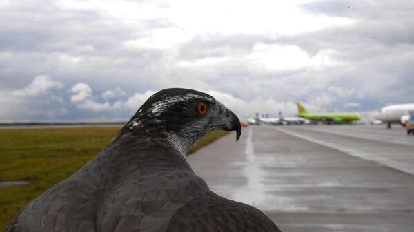 Ястреб орнитологической службы аэропорта Домодедово
