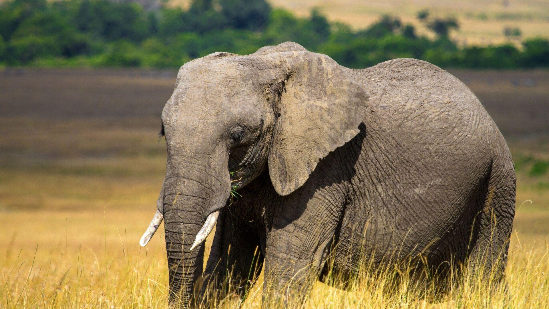 Слон в африке - РИА Новости, 1920, 26.09.2020