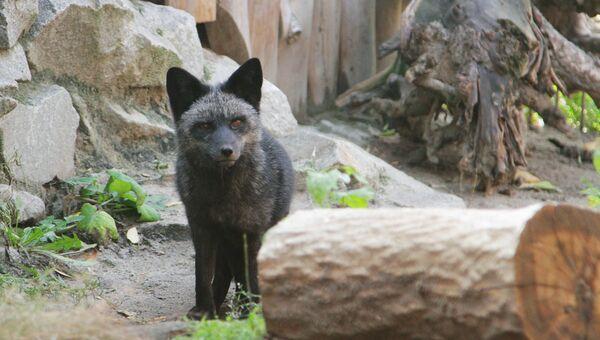 Серебристо-чёрный лис. Архивное фото.