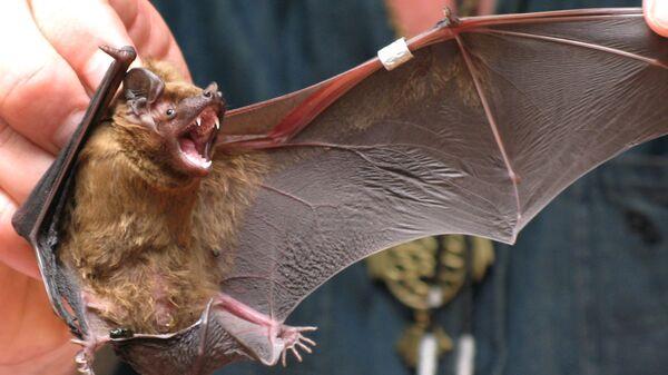 Кольцевание летучих мышей на орнитологической станции Зоологического института Российской академии наук на Куршской косе