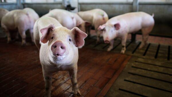Свиньи в стойле на мясоперерабатывающем комбинате Кубань в Краснодарском крае