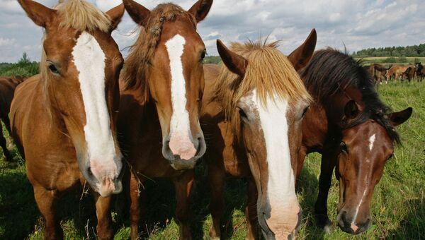 Лошади на пастбище. Архивное фото