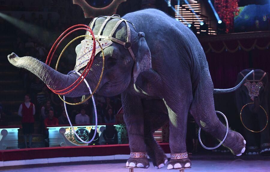 Слон во время циркового номера новой программы «Браво» на арене Московского цирка Никулина на Цветном бульваре в Москве