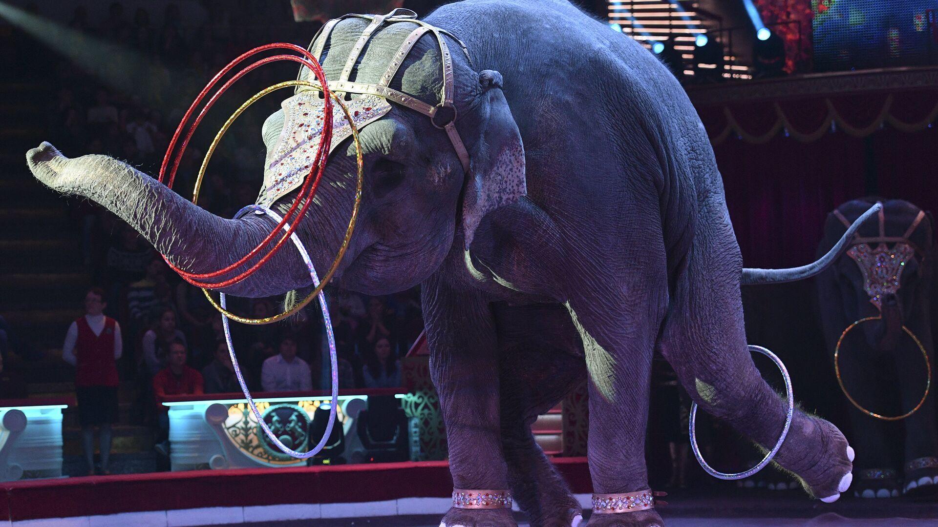 Слон во время циркового номера новой программы Браво на арене Московского цирка Никулина на Цветном бульваре в Москве - РИА Новости, 1920, 21.03.2021