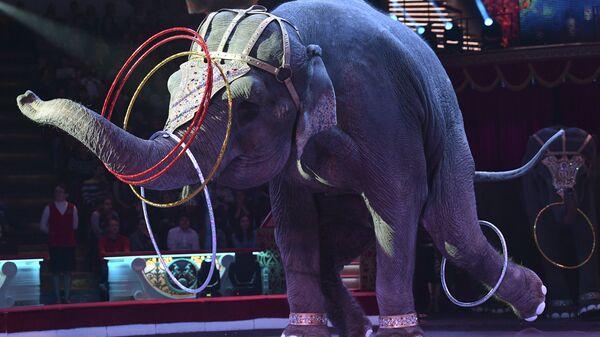 Слон во время циркового номера новой программы Браво на арене Московского цирка Никулина на Цветном бульваре в Москве