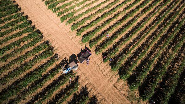 Сбор урожая винограда сорта на одном из винодельческих предприятий в Краснодарском крае