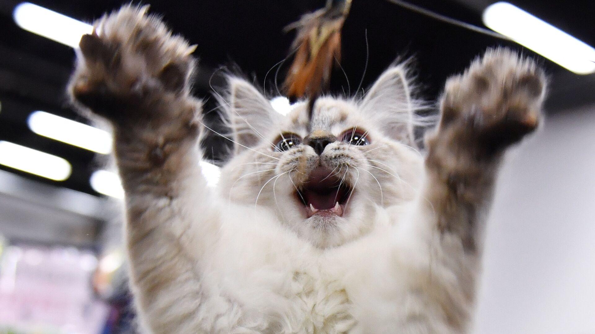 Кошка на выставке КоШарики Шоу в конгрессно-выставочном центре Сокольники в Москве - РИА Новости, 1920, 21.03.2021