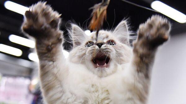Кошка на выставке КоШарики Шоу в конгрессно-выставочном центре Сокольники в Москве