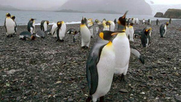 Лысого пингвина в Великобритании одели в солнцезащитный костюм