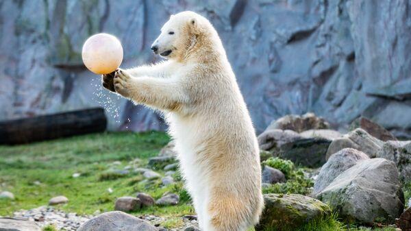 Белый медвежонок по кличке Нанук в зоопарке Гельзенкирхена, Германия