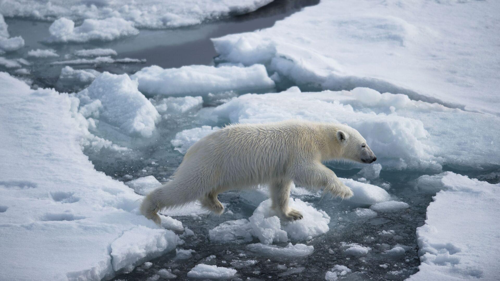 Белый медвежонок в районе архипелага Земля Франца Иосифа в Баренцевом море - РИА Новости, 1920, 01.07.2021