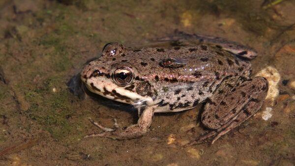 Речная лягушка