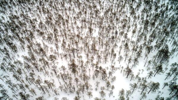 Молодой лес в Пряжинском районе Карелии