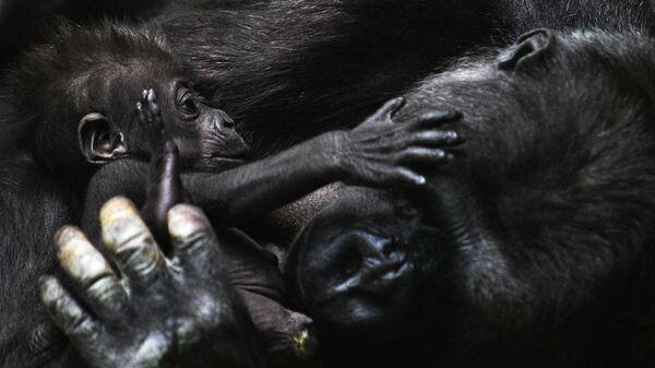 Западная равнинная горилла с детенышем в Московском зоопарке