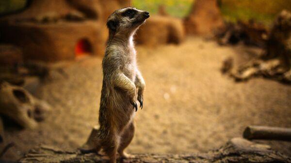 Сурикат в Московском зоопарке