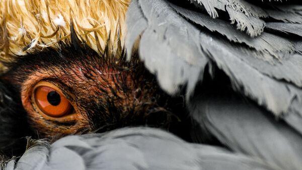 Даурский журавль в Московском зоопарке