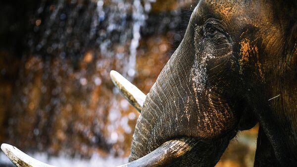 Африканский слон в Московском зоопарке