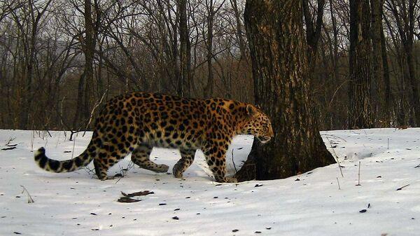 Дальневосточный леопард, который с 2016 года избегает попадания в базу данных ФГБУ Земля леопарда