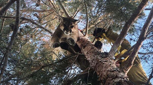 Спасатели снимают пуму с дерева в городе Хесперия, Калифорния