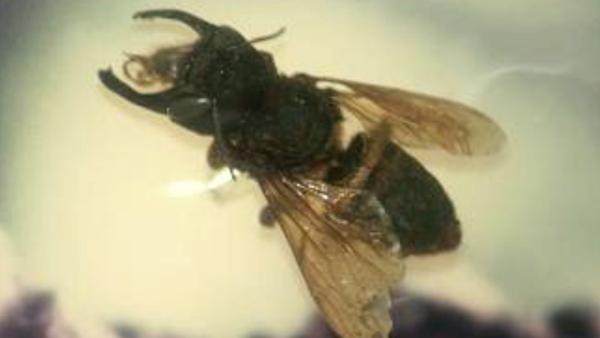 Пчела Megachile pluto