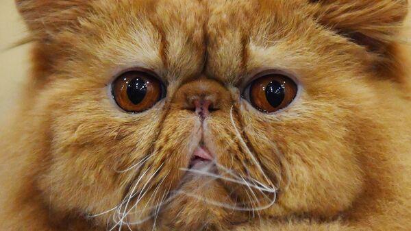 Кошка породы персидская на выставке Кэтсбург