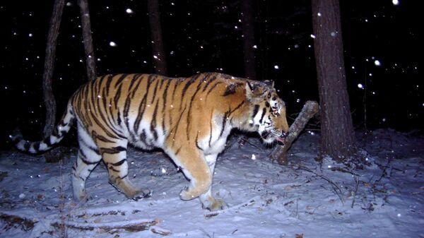 Многодетная тигрица Анна Савельевна в Сихотэ-Алинском заповеднике