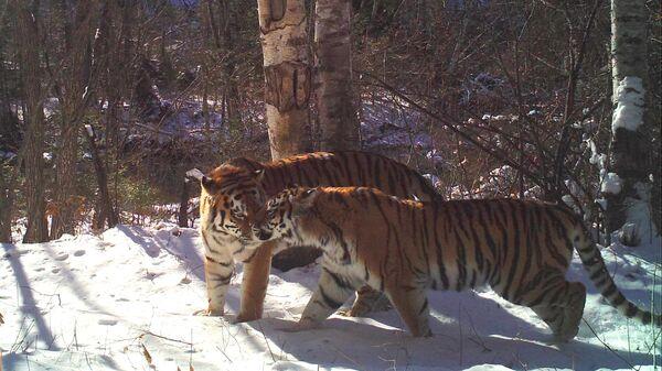 Тигрица Принцесса из Сихотэ-Алинского заповедника с тигром