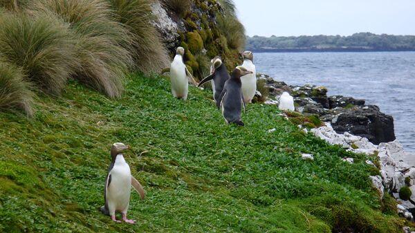 Небольшая колония желтоглазых пингвинов на островах Окленд