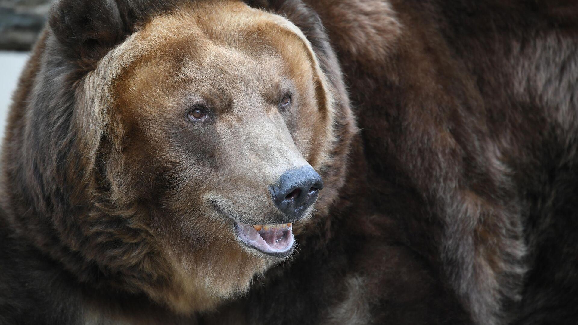 Бурый медведь - РИА Новости, 1920, 25.07.2021