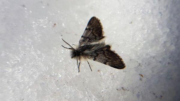 Бабочка Пяденица Миддендорфа в Кроноцком заповеднике