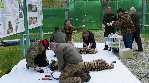 Тигры Павлик и Елена в Приморье
