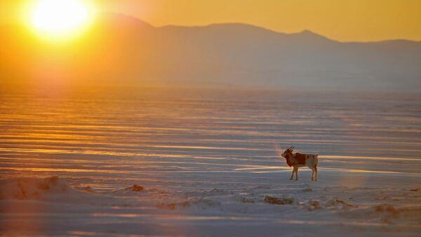 Северный олень на побережье Чукотского моря