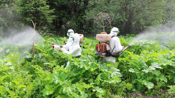 Сотрудники службы дезинфекции обрабатывают гербицидами борщевик в Подмосковье