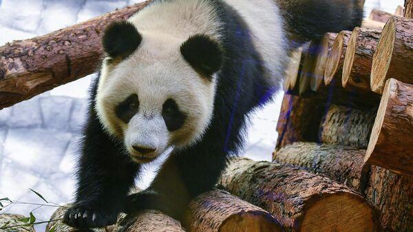 Панда Диндин в Московском зоопарке